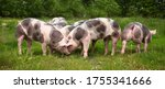 Household Domestic Pigs Lives...