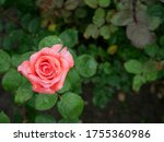 Pink Rose Flower With Raindrop...