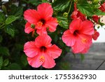 Types Of Hibiscus And Colors I...