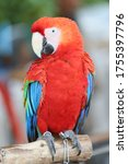 Scarlet Macaw Parrot On Perch