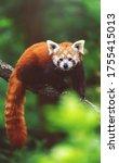 Red Panda  Ailurus Fulgens  On...