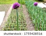 Purple Blooming Flower Of...