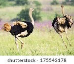 A Male Ostritch Chases A Femal...