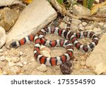 Coral Snake - red, black and white colors of a mimic snake, Lampropeltis triangulum gentilis