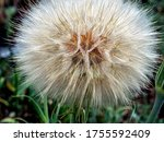 Puffy Cap Of The Seed Head Of...