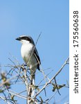 Small photo of Loggerhead Shrike (Lanius ludovicianus) - Vista View Park, Davie, Florida, United States