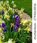 Pale Yellow And Purple Irises...