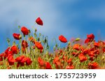 Vibrant Red Poppies With A Blue ...