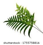 Wart Fern Leaf  Ornamental...