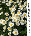 Flower Heads Of Oxeye Daisy Or...