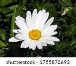 Flower Head Of Oxeye Daisy Or...