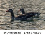 A Couple Of Greylag Geese On A...