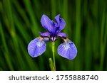 Northern Blue Flag Flower...