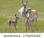 Close Up Of Pronghorn Mothers...