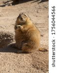 Prairie Dog Sitting Upright In...