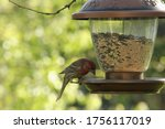 Male House Finch At The Bird...