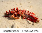 Close Up Of Dead Starfish Red...