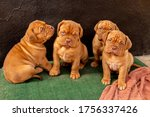 Red Puppies Of The French...