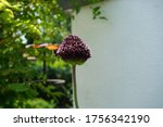 Bumblebee On Allium. Allium...