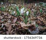 Galanthus Nivalis  The Snowdro...
