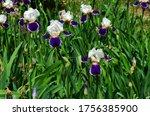 Beautiful Irises In The Meado...
