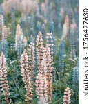 Pink And Blue Lupine Flowers...