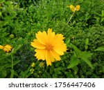 Coreopsis Pubescens  Called...