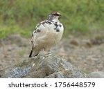 Northern Partridge Sitting On...