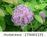 purple inflorescence of a...