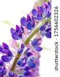 macro lupine fresh and vibrant... | Shutterstock . vector #1756602326