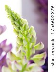 macro lupines fresh and vibrant ... | Shutterstock . vector #1756602329