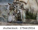 Tiger  Panthera Tigris  Close...