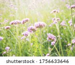 The Beauty Of Flowers Verbena...