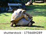 Gigantic Turtles Mating On A...