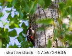 A Woodpecker Feeds On Insect...