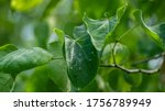 Pests On The Leaves Of Eastern...
