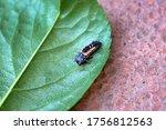 Ladybug baby  macro of ladybug...