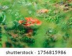 Edible Small Mushroom Russula...