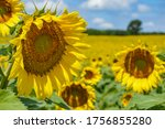 Sunflowers at Pope Conservancy in Wisconsin