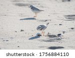 Piping plover is a near threatened sand-colored, sparrow-sized coastal shorebird. The sand shrimp is one of their favorite food. Photographed at Head of the Meadow Beach, Cape Cod, Massachusetts