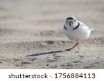 Piping plover is a near threatened sand-colored, sparrow-sized coastal shorebird.Photographed at Head of the Meadow Beach, Cape Cod, Massachusetts