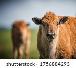 Bison Herd In Spring With Calves