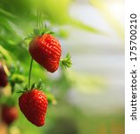 Strawberry Fruits On The Branc...