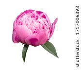 pink peony flower isolated on... | Shutterstock . vector #1757006393