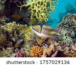 Picasso Triggerfish. Fish   A...