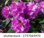Rhododendron Blooming Flowers...