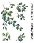 berries and twigs blueberries...   Shutterstock . vector #1757091860