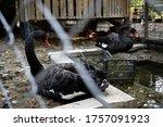 A Pair Of Black Swans. Black...