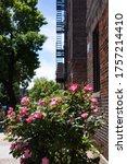 Beautiful Pink Rose Bush During ...