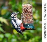 Female Great Spotted Woodpecker ...
